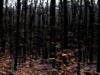 Waldrauschen